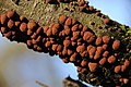 Hypoxylon fragiforme (GB= Beech Woodwart, D= Rötliche Kohlenbeere, F= Hypoxylon en forme de fraise, NL= Roestbruine kogelzwam) brown spores and causes white rot, at Schaarsbergen forest - panoramio.jpg