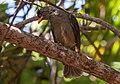 Hypsipetes crassirostris, Vallée de Mai National Park, Praslin Island, December 2019 02.jpg