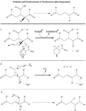 of isocitrate into oxalosuccinate  then into a final product of alpha    Isocitrate To Alpha Ketoglutarate