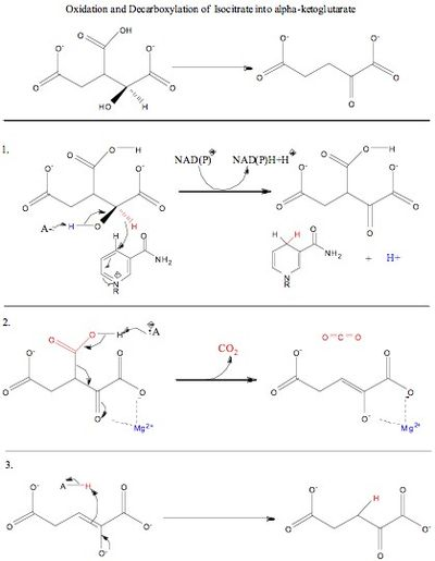 Principles Of Biochemistrykrebs Cycle Or Citric Acid Cycle