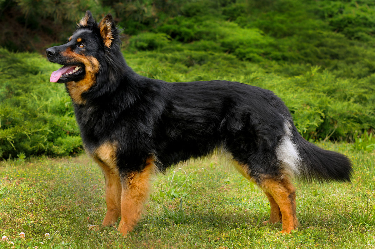 Big Long Haired Dog Breeds