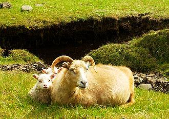 Icelandic sheep - Icelandic sheep
