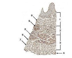Illu layers.jpg пищеводного