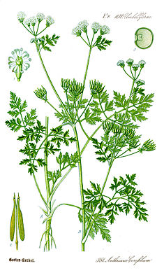 Chervil (Anthriscus cerefolium)