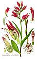 Illustration Cephalanthera rubra1.jpg