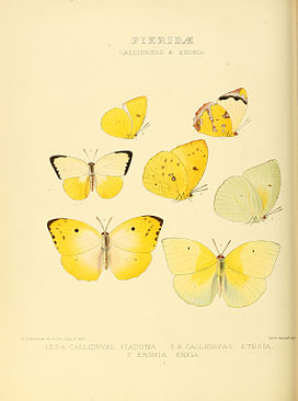Illustrations of new species of exotic butterflies Callidryas & Eronia.jpg