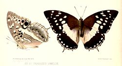 Illustrations of new species of exotic butterflies Charaxes V, Charaxes ameliae.jpg
