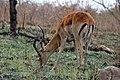 Impala Kruger National Park.jpg