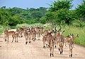 Impalas (Aepyceros melampus) herd ... (51136009025).jpg
