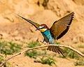 Incoming Bee-eater (18914728571).jpg