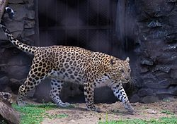 Leopardo indiano adulto