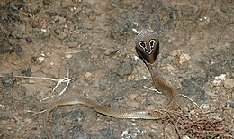 Indian Binocellate Cobra.JPG