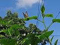 Indian Butterfly.jpg