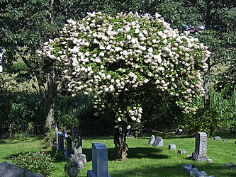 Indian Castle Church cemetery Crape myrtle.jpg