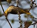 Indian Golden Oriole (Oriolus kundoo), on Ficus religiosa W IMG 8194.jpg