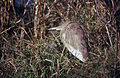Indian Pond Heron (Ardeola grayii) (20403094825).jpg