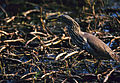 Indian Pond Heron (Ardeola grayii) with prey (19782247323).jpg