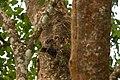 Indian Scoops Owl.jpg