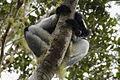 Indri - Andasibe - Madagascar MG 0838 (15286208335).jpg