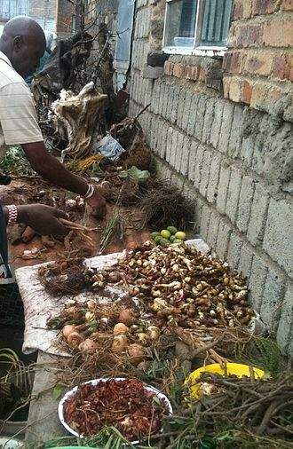 Traditional African medicine - Preparing and drying out freshly dug traditional medicines (muti)