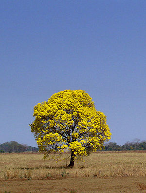 Handroanthus - Flowering araguaney or ipê-amarelo (Handroanthus chrysanthus) in central Brazil