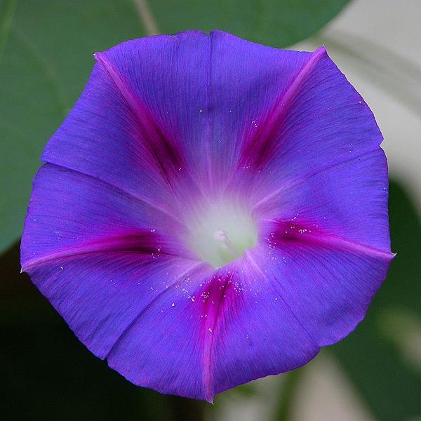600px-Ipomoea_purpurea_2400px.jpg