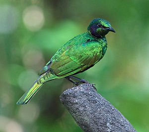 Emerald starling - Image: Iris Glossy Starling side