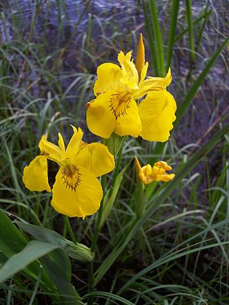 Iris pseudacorus - Close-up of flowers