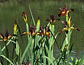 Iris spuria 'Cinnabar Red' (1999-352-B) Plants.JPG