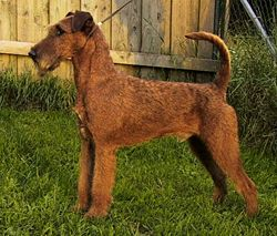 Irish-terrier.jpg
