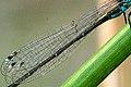 Ischnura.elegans.wing.detail.jpg