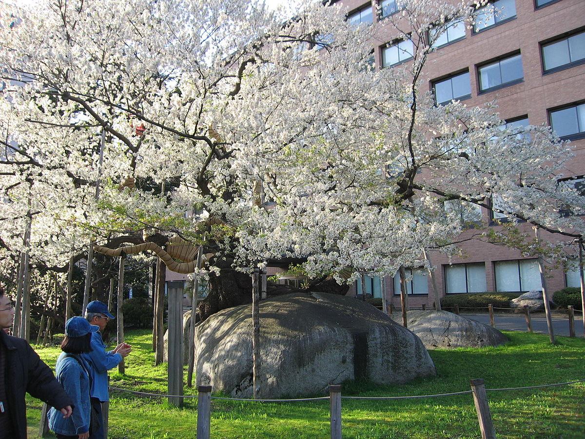 Rock Breaking Cherry Tree Wikipedia
