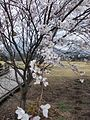 Isshingyo big cherry tree 03.jpg