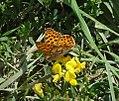 Issoria lathonia - Flickr - gailhampshire.jpg