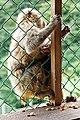 Iwatayama Monkey Park (3810485537).jpg