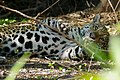 Jaguar (Panthera onca) female resting in the shade ... (48471944091).jpg