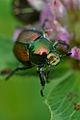 Japanese Beetle (Popillia japonica) - London, Ontario 01.jpg