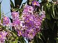 Jarul Flower Lagerstroemia speciosa by Dr. Raju Kasambe DSCN8917 (3).jpg