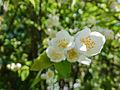 Jasmine flowers (14674312113).jpg