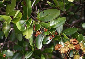Blätter und Früchte des Quallenbaumes (Medusagyne oppositifolia).