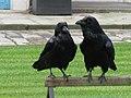 Jielbeaumadier Grands corbeaux tol london 2009.jpg