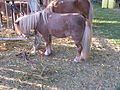 Jielbeaumadier poney amiens 2008.jpeg
