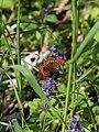 Johnsbach - Nationalpark Gesäuse - Silberfleck-Perlmutterfalter (Boloria euphrosyne).jpg