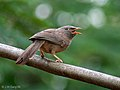 Jungle Babbler I2 IMG 2700.jpg