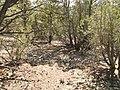 Juniper Woodland - panoramio.jpg