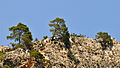 Kızılçam - Turkish pines - Pinus brutia 02.JPG