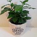 Kaffeepflanze 20160113.jpg