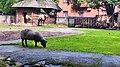 Kaliningrad Zoo - Sheep and camel.jpg