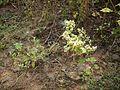 Kantagokhru (in Oriya) (5240901064).jpg