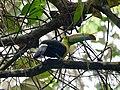Keel-billed toucan (39990004514).jpg